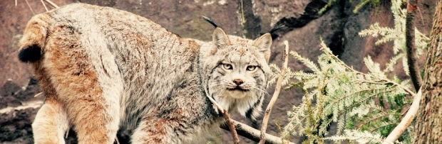 thumb_CanadaLynx-large-1_1024