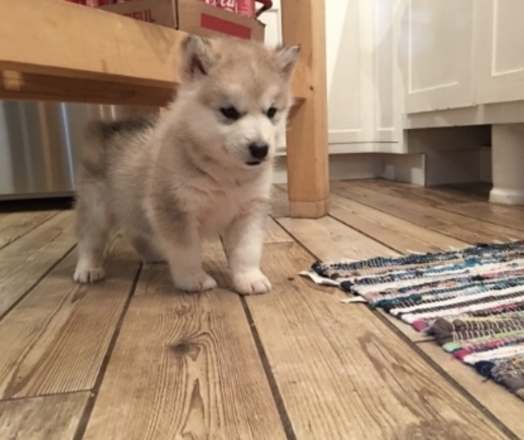 Beneath the Borealis Post The Fluff 4-15-19 Malamute Puppy