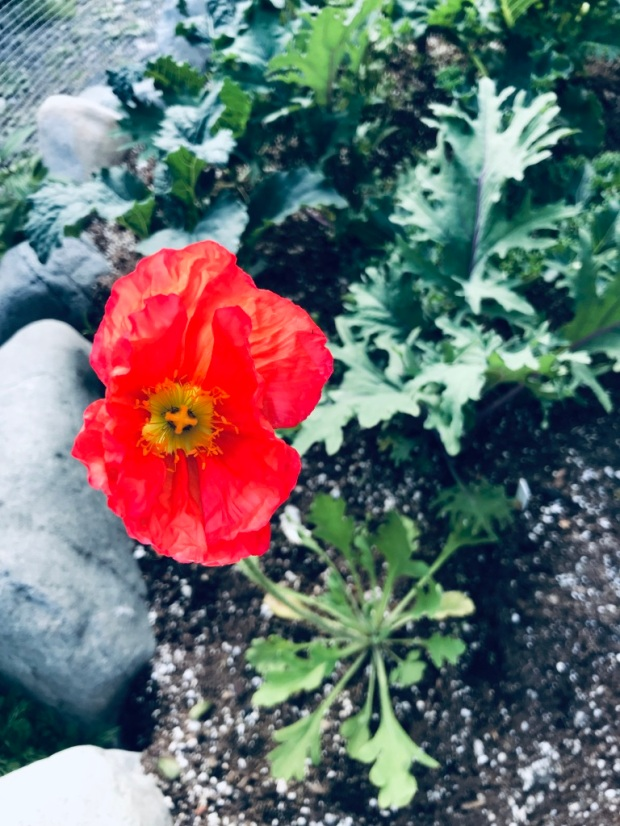 Beneath the Borealis 07-22-19 Everything Changes (Even Your Face) Gardening Poppies in Alaska
