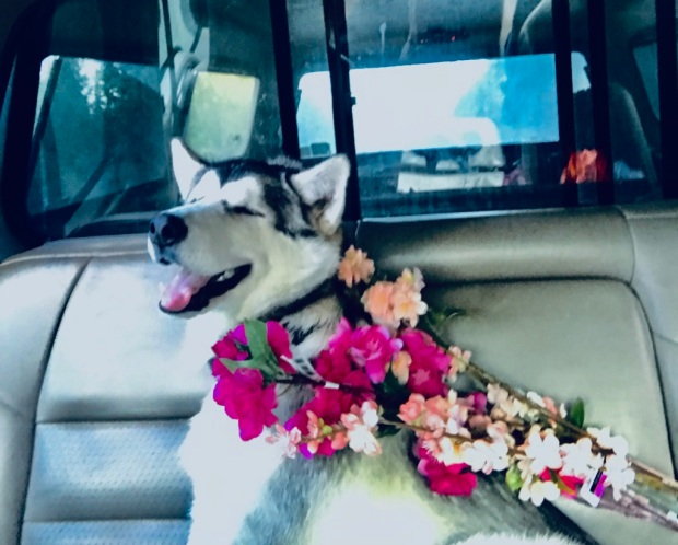 Beneath the Borealis Back to the Wave 08-12-19, Malamute puppy in a wedding.jpg