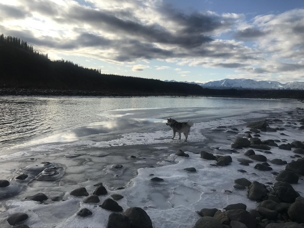 Beneath the Borealis, 11-11-19, Post Cabin Confessions, Putting Up, Alaskan Malamute 9 months old