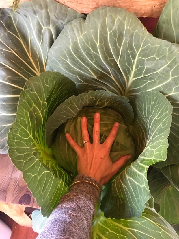 Beneath the Borealis, 11-11-19, Post Cabin Confessions, Putting Up, Gardening in Alaska, giant cabbages green