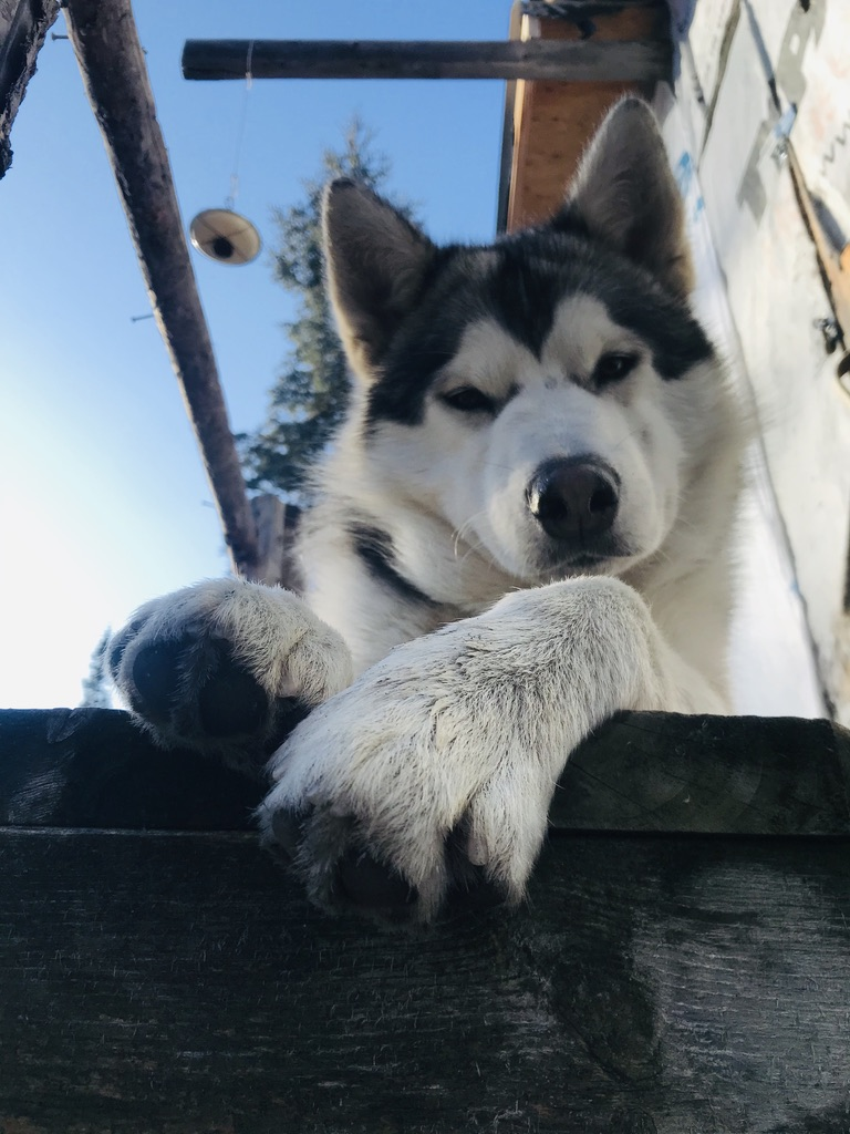 Beneath the Borealis, 11-25-19, Porcupup, Alaskan Malamute