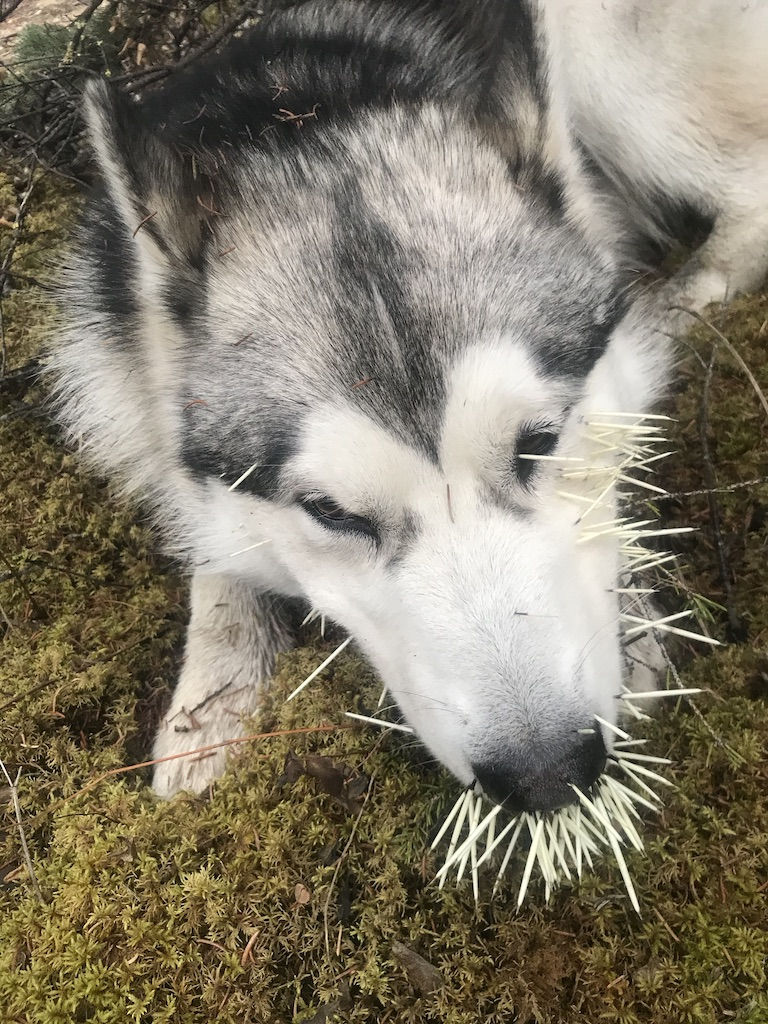 Beneath the Borealis, 11-25-19, Porcupup, Malamute with porcupine quills in Alaska