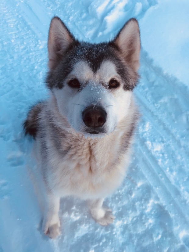 Beneath the Borealis, 40 Below (Alone), January 27th, 2020, Malamute Puppy