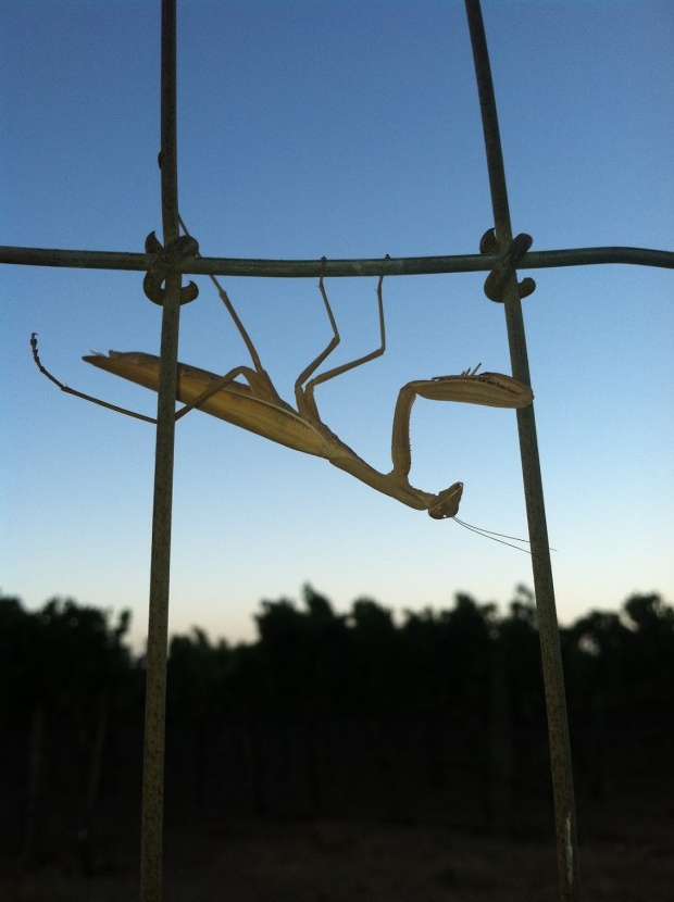Beneath the Borealis, Building, 02-10-20, California Praying Mantis