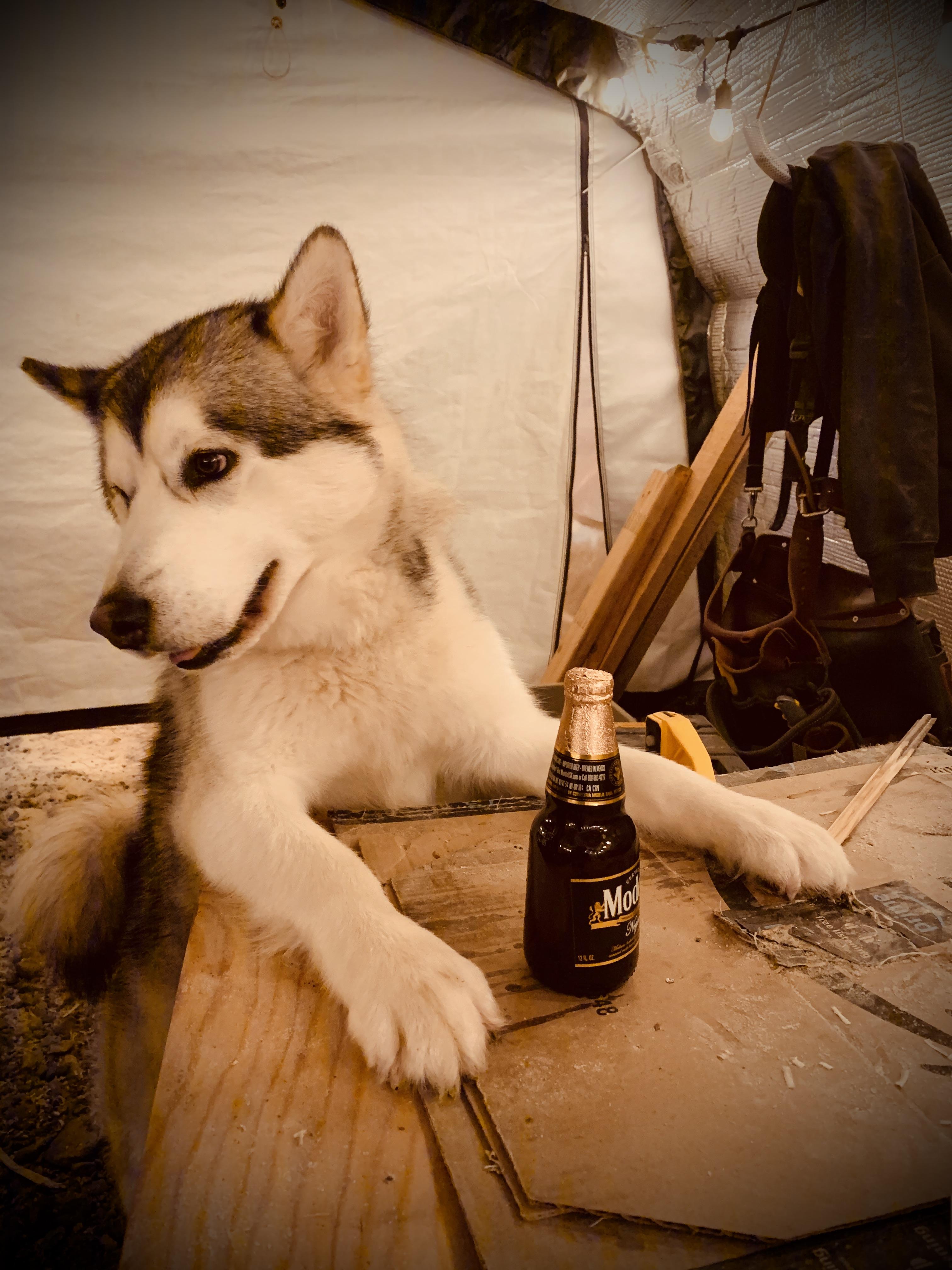 Beneath the Borealis Post Cabin Fever 02:24:20 Alaskan Malamute Modelo