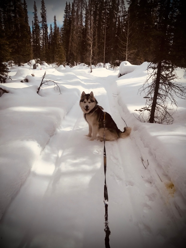 Beneath the Borealis, A European Vacation, Alaskan Malamute Puppy Skijoring