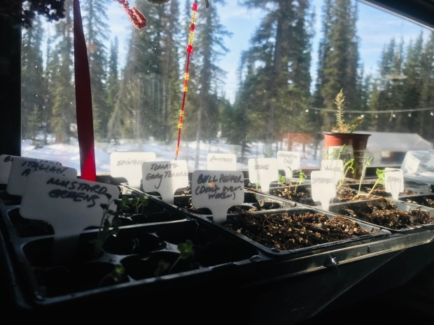 Beneath the Borealis, Post, Sown, 04-20-20, Growing Peas from Seed in Alaska.jpeg
