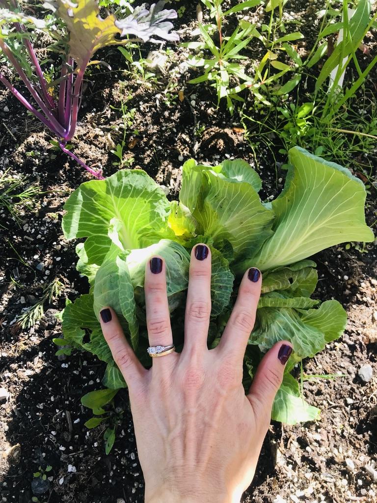 Cabbage gardening Alaska