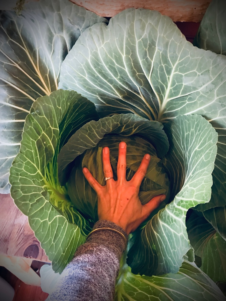 Huge cabbages, Alaska