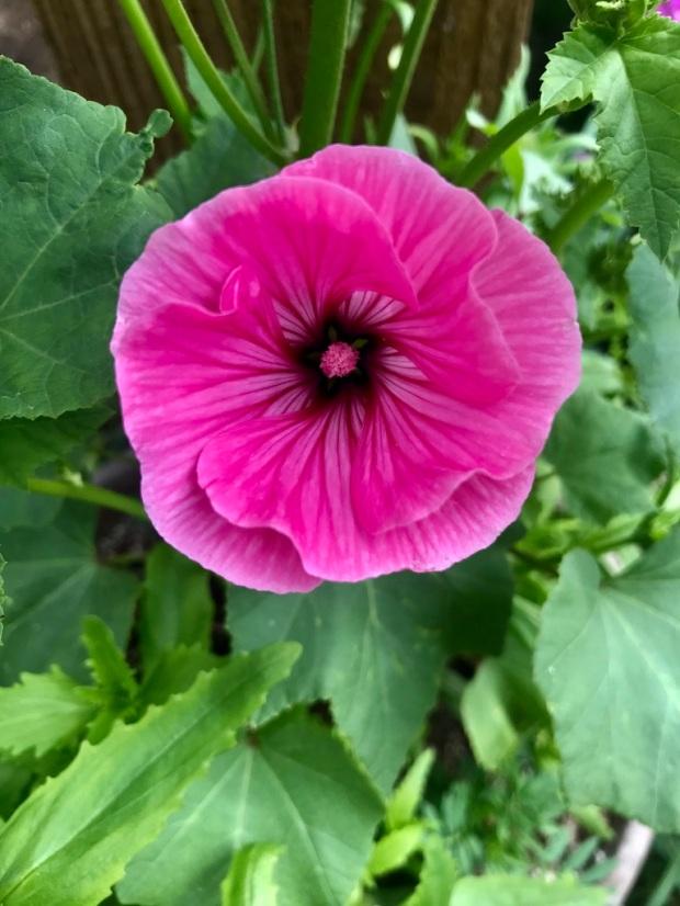 Lavaterra flowers