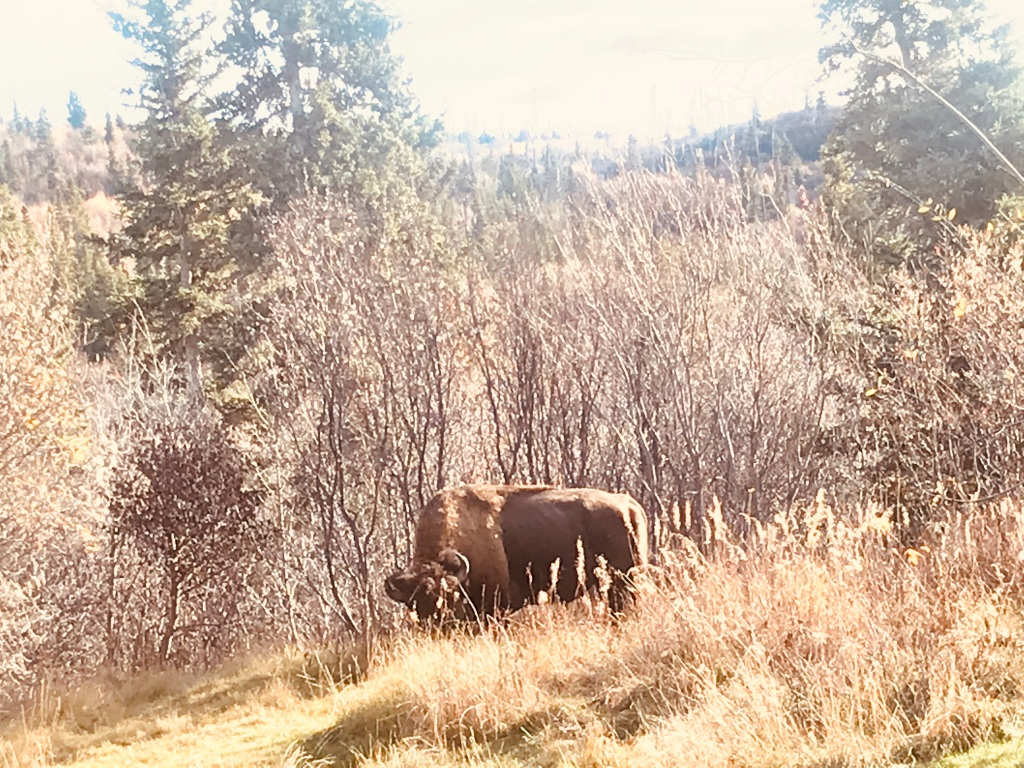 Buffalo Alaska