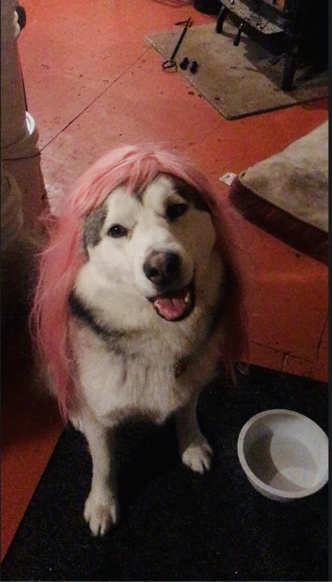 Malamute in a wig
