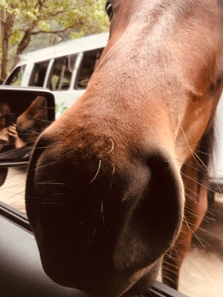 Hawaiian wild horses